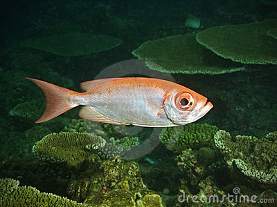 pacific ocean fish  nocturnal fish in the
