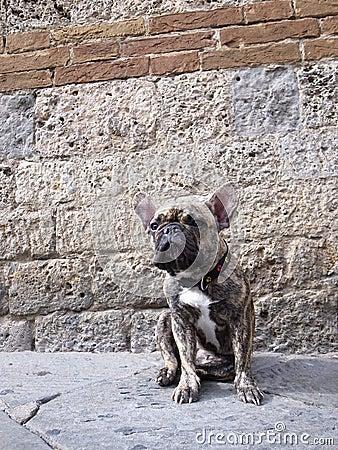 Bullfight dog