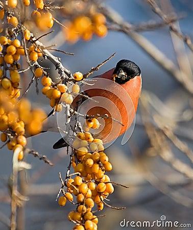 Bullfinch auf dem Zweig des Meer-Wegdorns