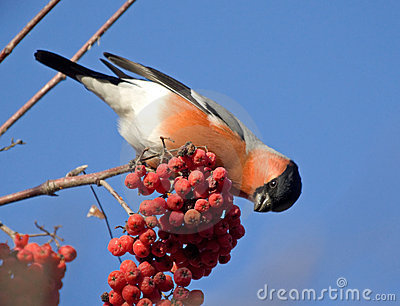 Bullfinch on the branch of mountain ash