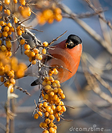 Bullfinch on the branch of Sea-buckthorn