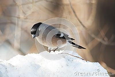 Bullfinch on snowdrift