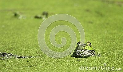 Bullfrog at Brazos Bend