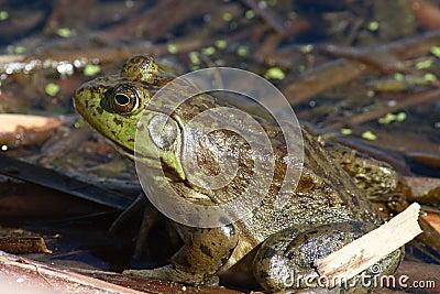Bullfrog in pond