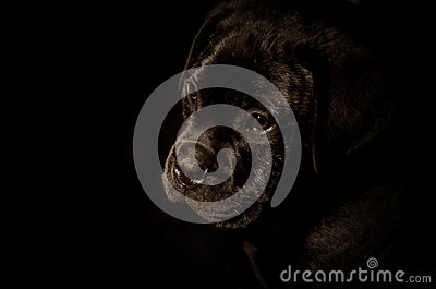 Bullmasstif puppy dog portrait black