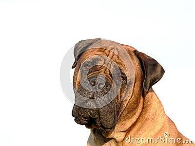 Bullmastiff head02