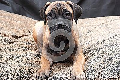 Bullmastiff puppy 60