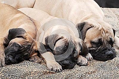 Bullmastiff puppy 94