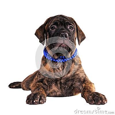 Bullmastiff puppy lying