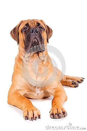 Free Bullmastiff Puppy Lying Royalty Free Stock Photography - 28804737