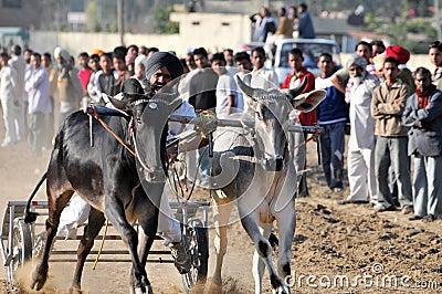 Bullock cart race Editorial Stock Photo