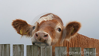Bullock Looking Over Fence Stock Images - Image: 7204774
