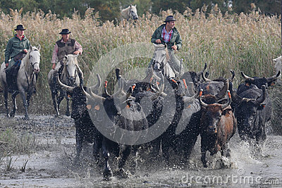 Bulls across the river Editorial Photography
