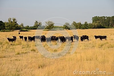 Bulls in Camargue