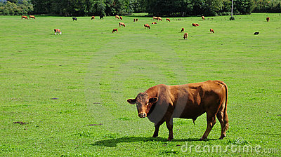 Bulls Grazing in a Green Field