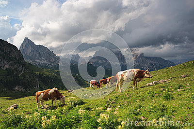 Bulls on meadow, Dolomites