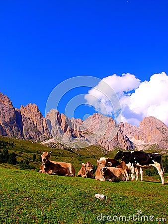 Bulls on meadow, Dolomites