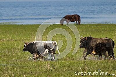 Bulls Running through Flooded land