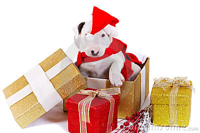 Bullterrier puppy in Christmas gift box