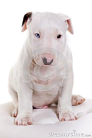 Bullterrier puppy portrait