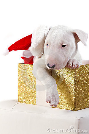 Bullterrier puppy with Santa hat