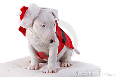 Bullterrier puppy in santa suit