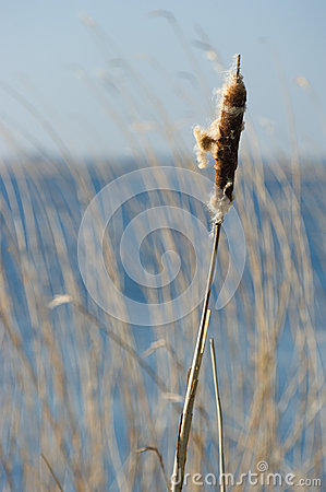 Bulrush near water