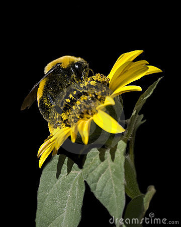 Bumble Bee on Black