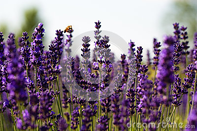 A bumble bee flyuing in purple lavender
