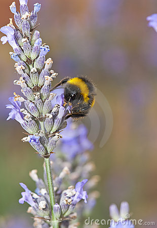 Bumble bee and Lavender