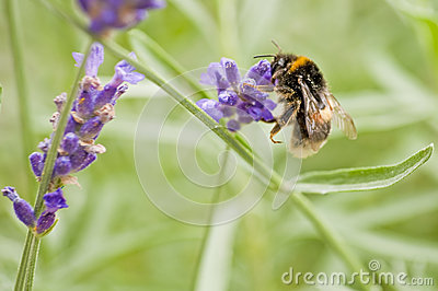 bumble-bee on lavender