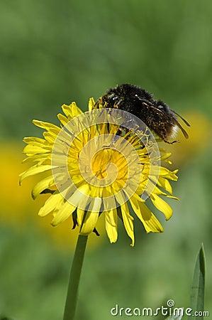 Free Bumble Bee On Dandelion Stock Photo - 23376460