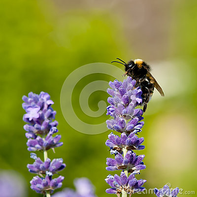 Free Bumble Bee On Lavender Flowers Stock Photos - 34297703