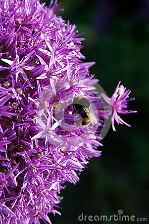 Free Bumble Bee On Purple Flowers Royalty Free Stock Photo - 26576775