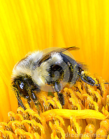 Free Bumble Bee On Sunflower Royalty Free Stock Images - 32740279