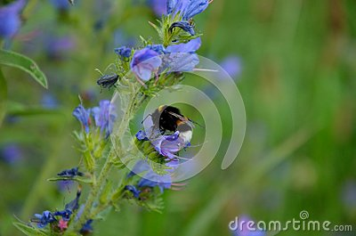 Bumble bee pollinate
