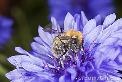 Bumble bee pollinating on cornflower.