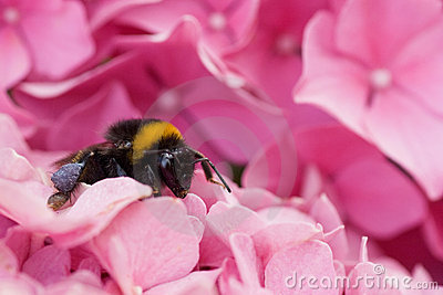 Bumble bee resting for a moment