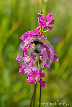 Free Bumble-bee Sitting On Wild Flower Stock Image - 55254491