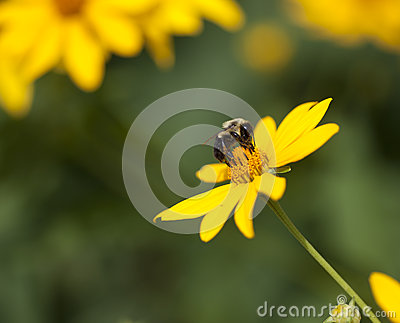 Bumble Bee on Yellow Flower