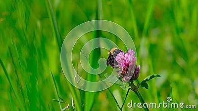Bumblebee στο τριφύλλι wildlife Τηλεοπτικός πυροβολισμός κινηματογραφήσεων σε πρώτο πλάνο απόθεμα βίντεο