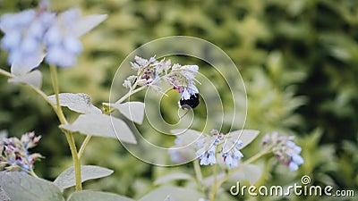 Bumblebee συλλέγει τη γύρη από τα λουλούδια στο λιβάδι Κινηματογράφηση σε πρώτο πλάνο της Νίκαιας wildlife απόθεμα βίντεο