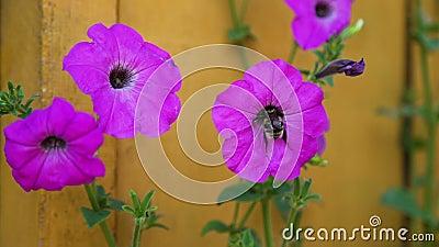 Bumblebee ψάχνει το νέκταρ στο λουλούδι απόθεμα βίντεο
