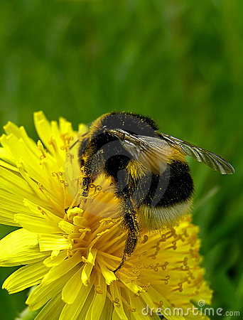 Free Bumblebee Royalty Free Stock Photo - 130515