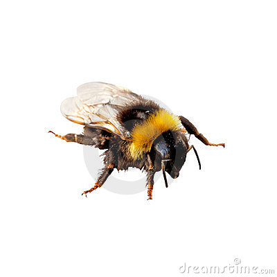 Free Bumblebee Royalty Free Stock Photography - 21292187