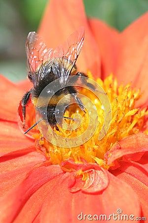 Free Bumblebee Stock Photography - 5691592