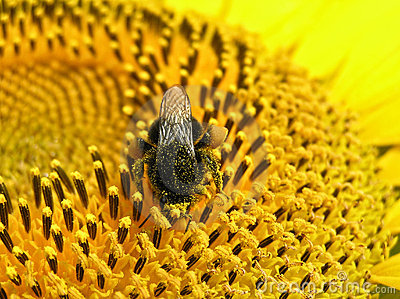 Bumblebee (Bombus) collecting pollen