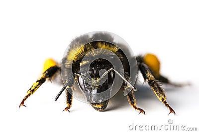 Bumblebee / Bombus terrestris