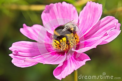 Bumblebee (Bombus terrestris) pollinating flower