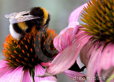 Bumblebee on Flower (2)